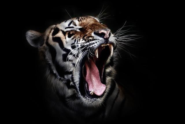 FLE A2 – CO – Le tigre du Bengale