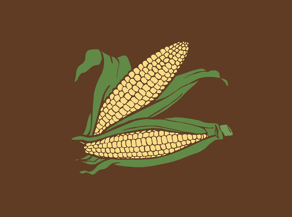 Le maïs : une plante domestiquée et améliorée génétiquement